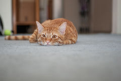 Lazy furry face resting on carpet Stock Photo