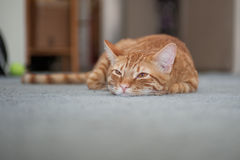 Lazy furry face resting on floor. Squinted eyes and Tabby cat whiskers facing forward Royalty Free Stock Photography