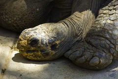 Lazy Galapagos Tortoise. Tired turtle resting in the hot sun Stock Photography