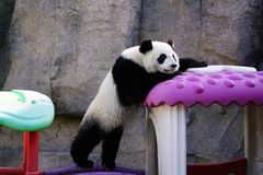 The lazy giant panda is climbing the toy house. Giant Panda `YUEYUE` and `BANBAN` is the panda `YOUYOU` in the October 4, 2016 in Shanghai base successfully gave Stock Photo