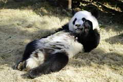 The lazy giant panda is eating the bamboo. Giant Panda `YUEYUE` and `BANBAN` is the panda `YOUYOU` in the October 4, 2016 in Shanghai base successfully gave Royalty Free Stock Photography