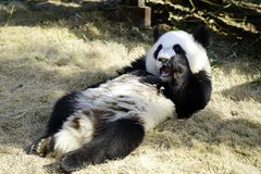 The lazy giant panda is eating the bamboo. Giant Panda `YUEYUE` and `BANBAN` is the panda `YOUYOU` in the October 4, 2016 in Shanghai base successfully gave Royalty Free Stock Image