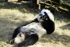 The lazy giant panda is eating. Giant Panda `YUEYUE` and `BANBAN` is the panda `YOUYOU` in the October 4, 2016 in Shanghai base successfully gave birth to a pair Stock Photo
