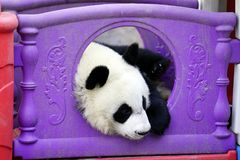 The lazy giant panda is hiding in the toy house. Giant Panda `YUEYUE` and `BANBAN` is the panda `YOUYOU` in the October 4, 2016 in Shanghai base successfully Stock Images