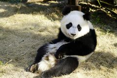 The lazy giant panda is Looking around stock images