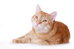 Lazy ginger cat Stock Photo