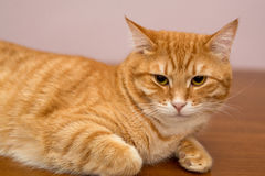 Lazy ginger cat Stock Photography