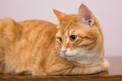 Lazy ginger cat Stock Photos