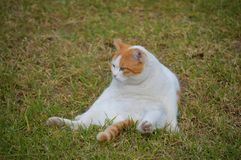 A lazy ginger tabby cat. A lazy ginger cat sitting on the grass Stock Photos