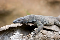 Lazy Goanna. Goanna stretch on log in the sun Royalty Free Stock Images