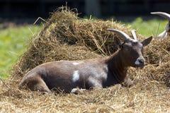 Lazy goat Stock Images