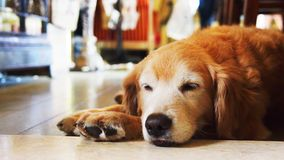 Golden retriever pet dog taking a nap royalty free stock images