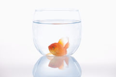 Lazy goldfish in a small bowl Royalty Free Stock Images