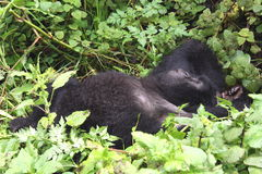 Lazy Gorilla stock images