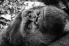 Lazy gorilla stock photos