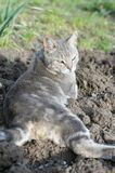 Lazy grey cat laying at garden Stock Images