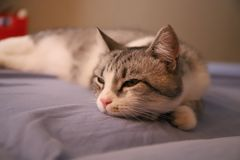 Lazy grey cat with yellow eyes. Lying imposingly on the bed royalty free stock image