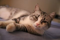 Lazy grey cat with yellow eyes. Lying imposingly on the bed stock images