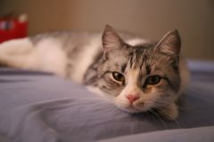 Lazy grey cat with yellow eyes. Lying imposingly on the bed royalty free stock photos