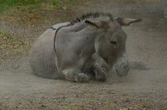 Lazy grey Donkey lying on the ground royalty free stock photos