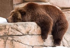 Lazy Grizzly. A large grizzly bear lying limp on a rock Royalty Free Stock Image