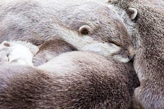 Lazy group of Asian small-clawed otter Stock Photography