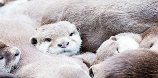 Lazy group of Asian small-clawed otter Stock Photos