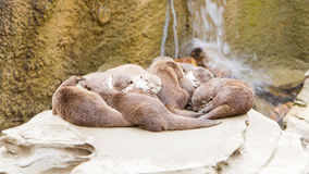 Lazy group of Asian small-clawed otter Royalty Free Stock Images