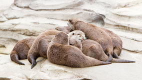 Lazy group of Asian small-clawed otter Stock Images