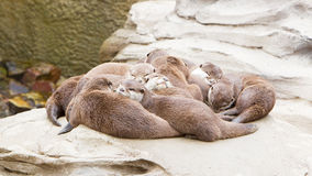 Lazy group of Asian small-clawed otter Royalty Free Stock Photos