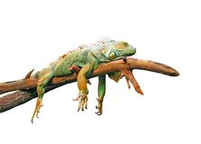 Lazy guana lying on branch. Isolated in white Royalty Free Stock Photography