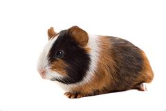 Lazy guinea-pig Stock Images