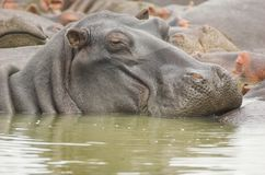 Lazy Hippo. In south africa, St. Lucia Wetlands Stock Photo