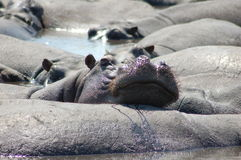 Lazy hippos Royalty Free Stock Image