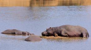 Lazy Hippos Stock Photo