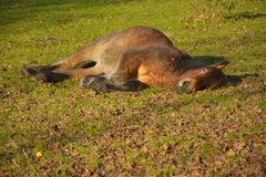 Lazy horse on a field. Enjoying the winter sun Royalty Free Stock Images