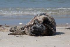 Lazy Horsehead seal Royalty Free Stock Photo