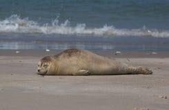 Lazy Horsehead seal Royalty Free Stock Image