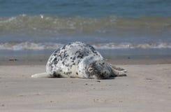 Lazy Horsehead seal Royalty Free Stock Photos