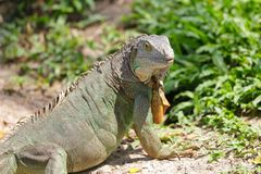 Lazy iguana lay Stock Images
