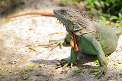 Lazy iguana lay Stock Photo