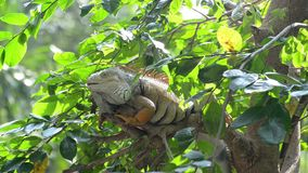 Lazy iguana lay on the tree. In the jungle stock footage