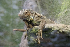 Lazy Iguana. Stock Photos