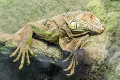 Lazy Iguana. Stock Images