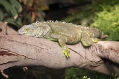 Lazy iguana rests on tree branch Stock Images