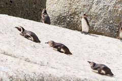 Lazy penguins lying on rocks in the sun Royalty Free Stock Image