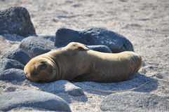 Lazy juvenile sea lion. A juvenile sea lion on his back, sunning himself in the Galapagos Islands Stock Photography