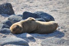 Lazy juvenile sea lion Stock Photography