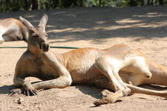Lazy kangaroo Stock Photos