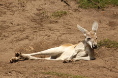 Lazy Kangaroo Chilling On The Ground Royalty Free Stock Photography